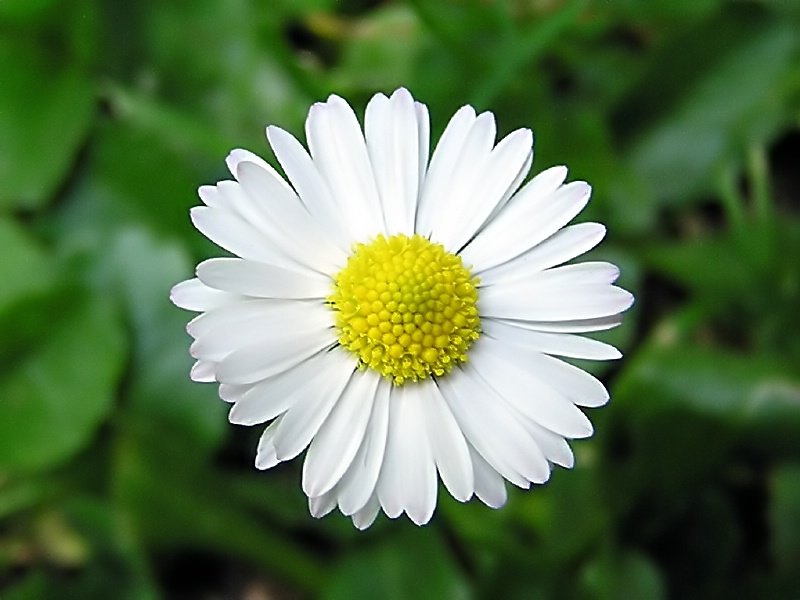 Kamilla - Matricaria recutita